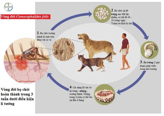 Vòng đời của bọ chét ở chó gồm 5 giai đoạn