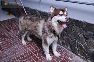 Bệnh mò bao lông ở chó Alaka làm chúng trụi lông, chảy mủ,...