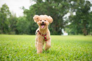 Chó Poodle được đánh giá cao về sự trung thành
