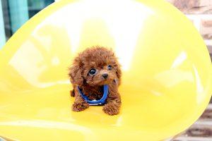Teacup Poodle làm chị em xao xuyến