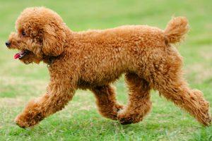 Toy Poodle dễ nuôi và dễ chăm sóc