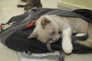 Mèo Anh bị tiêu chảy do nết ăn uống