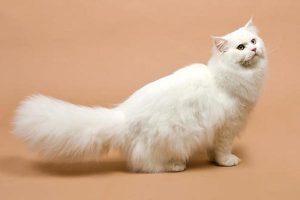 Nguyên nhân mèo Anh lông dài bị rụng lông