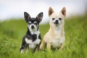 Phân biệt Chihuahua và Phốc như thế nào?