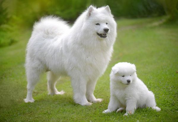 chó Samoyed và chó con